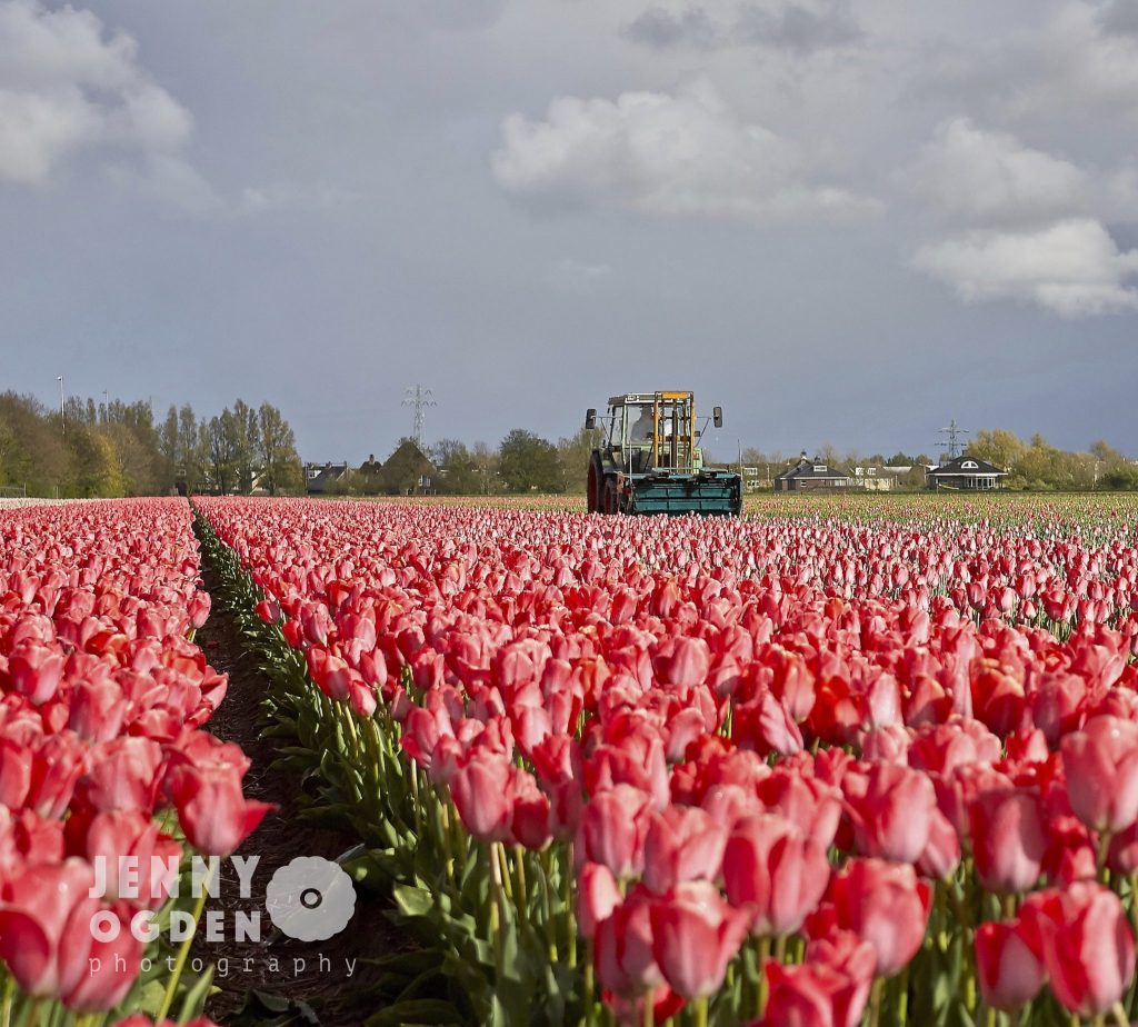 holland-tulip-fields-jenny-ogden-photography-commercial-photographer-warwickshire