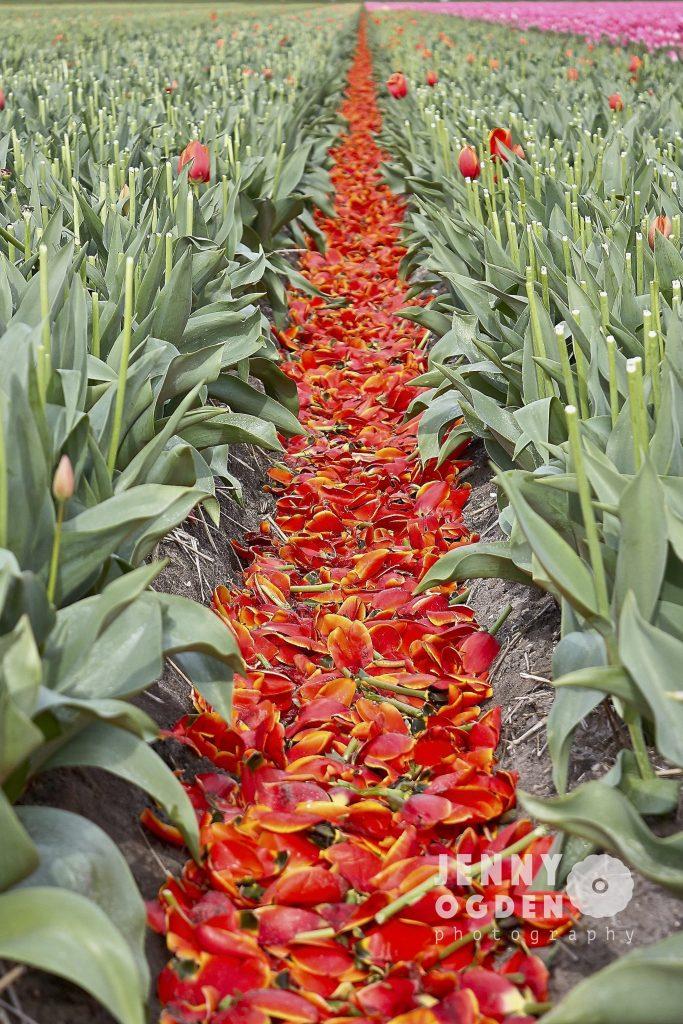 holland-tulip-fields-jenny-ogden-photography-commercial-photographer-warwickshire
