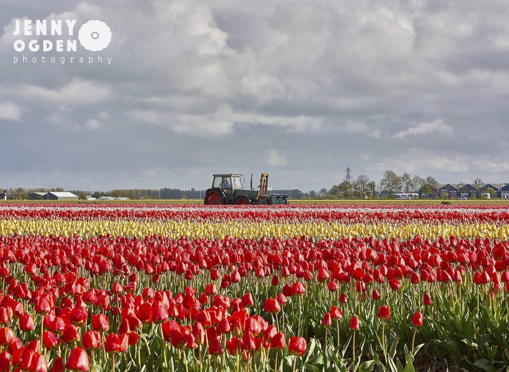 holland-tulips-jenny-ogden-photography-commercial-photographer-warwickshire
