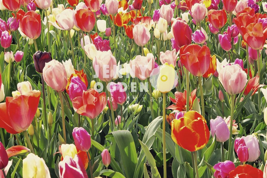 holland-tulips-keukenhof-jenny-ogden-photography-commercial-photographer-warwickshire